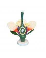 Walter Dicot Flower Model