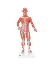 3B 1/4 Life-Size Muscle Figure