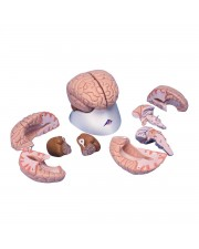 3B Brain Model, Life-Size - 8 Parts