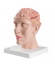 3B Brain w/Arteries on Base of Head